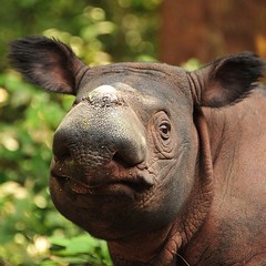 Sumatran #rhino noses are the cutest - especially Andatu's. Photo by Dedi Candra, Sumatran Rhino Sanctuary. #5rhinos5wishes