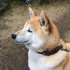 dog breed(1.0), animal(1.0), akita inu(1.0), west siberian laika(1.0), akita(1.0), dog(1.0), czechoslovakian wolfdog(1.0), eurasier(1.0), shiba inu(1.0), canaan dog(1.0), pet(1.0), norwegian buhund(1.0), shikoku(1.0), east siberian laika(1.0), norwegian elkhound(1.0), greenland dog(1.0), finnish spitz(1.0), kishu(1.0), korean jindo dog(1.0), wolfdog(1.0), saarloos wolfdog(1.0), norwegian lundehund(1.0), carnivoran(1.0), icelandic sheepdog(1.0),