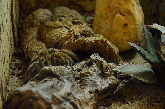 Biosphaere Potsdam tarantula
