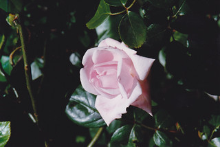 garden rose, Greenbank, June 1992