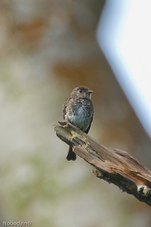 Dark Sided Flycatcher