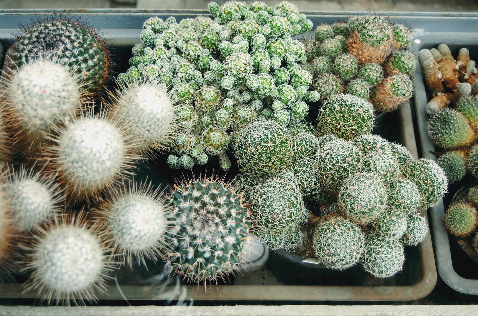 Cacti in the Botanical Garden of Antwerp