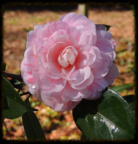 usa plant flower garden bush texas blossom bloom camellia conroetexas strangeremorysmithscamelliagarden