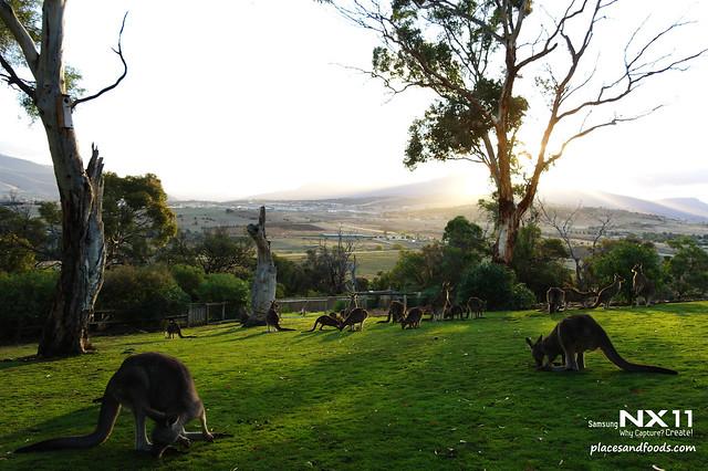 bonorong kangaroos
