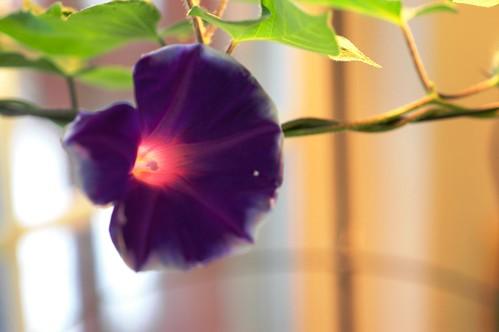 Ipomoea nil Fujie's Purple Star Burst by Gerris2