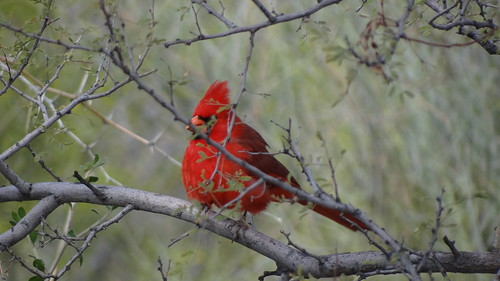 Northern Cardinal superbus