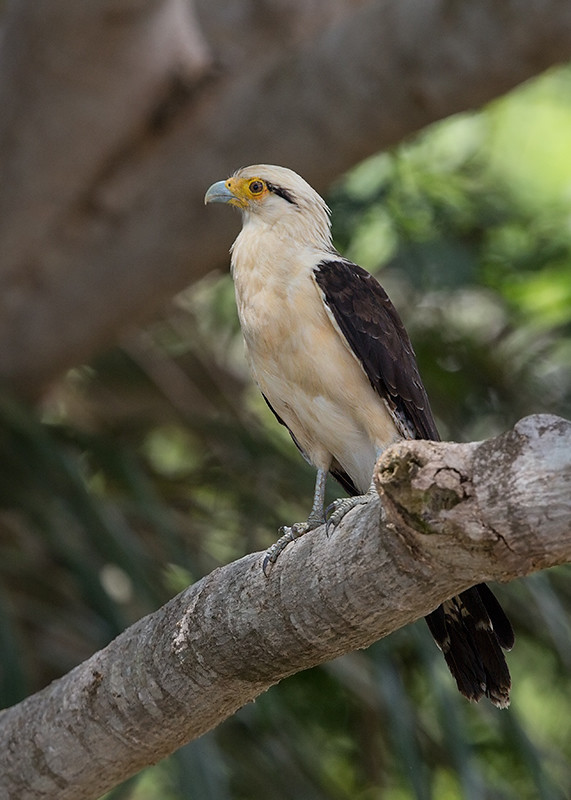 Yellow Headed Caracara 2014-01-21