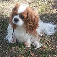 cavachon(0.0), welsh springer spaniel(0.0), phalã¨ne(0.0), french spaniel(0.0), american cocker spaniel(0.0), dog breed(1.0), animal(1.0), dog(1.0), pet(1.0), king charles spaniel(1.0), english cocker spaniel(1.0), spaniel(1.0), cavalier king charles spaniel(1.0), carnivoran(1.0),