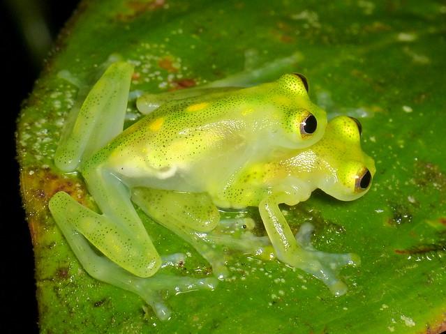 Atrato Glass Frog, Hyalinobatrachium aureoguttatum, Centrolenidae