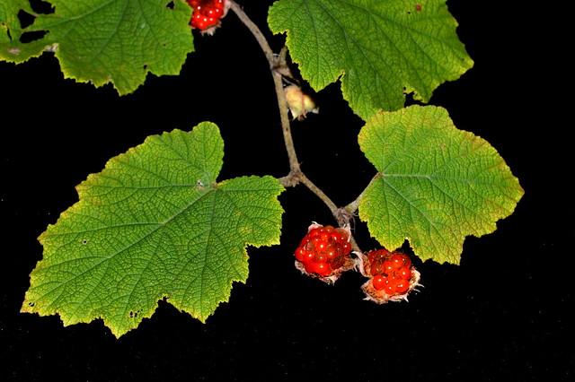 Rubus alceifolius DSC_0624 (1)