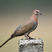 Laughing Dove by Koshyk