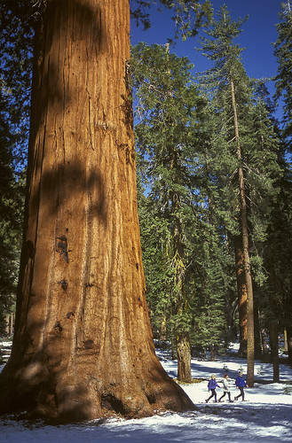 Snowshoeing among the giants, Yosemite NP, CA