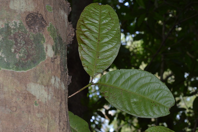 Syzygium cormiflorum DSC_0519 (1)