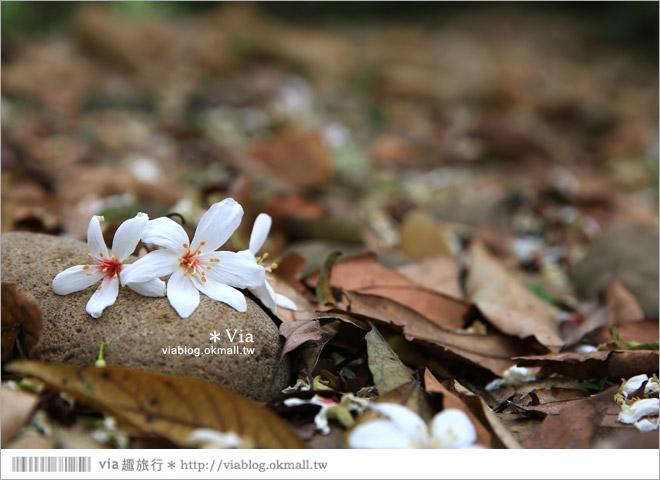 【彰化賞桐景點】彰化德興社區桐花~爆炸夢幻油桐花毯....必去!期待中17