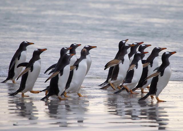 Gentoo penguins at Volunteer Point.