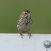Savannah Sparrow by jimculp@live.com / ProRallyPix