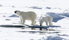 Polar Bears near the North Pole