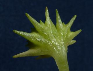 Dorstenia hildebrandtii 19831538191_b510816410_n