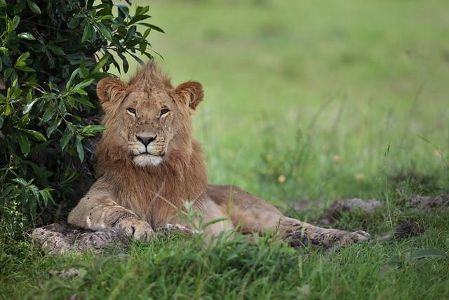 Lion Around