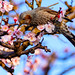 Brown-eared Bulbul on Plum Blossom : 梅にヒヨドリ