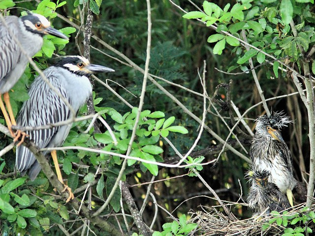 Yellow-crowned Night-Heron nest 22 family 20130602