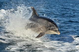 Queen Charlotte Sound-Dolphins