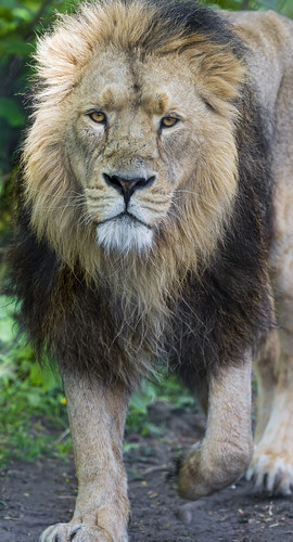 The male lion walking towards me by Tambako the Jaguar