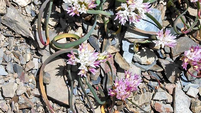 Header of Allium crenulatum