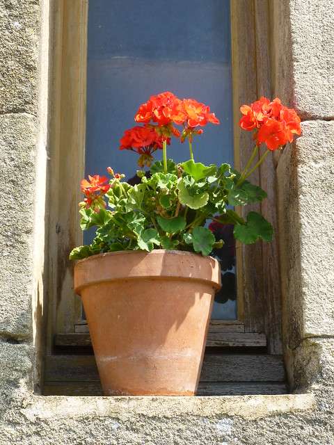 A French geranium