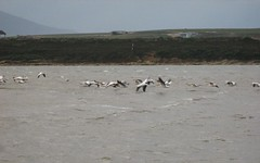 Pelicans over the water