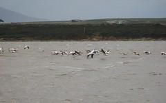 Pelicans over the water
