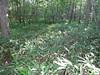 笹の葉に木漏れ日 ベルツの森