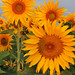 2nd Place - Flora - Ron Heyes - Colorado Sunflowers