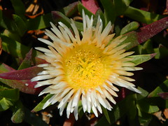 flower(1.0), yellow(1.0), plant(1.0), macro photography(1.0), wildflower(1.0), flora(1.0), close-up(1.0), ice plant(1.0), petal(1.0),