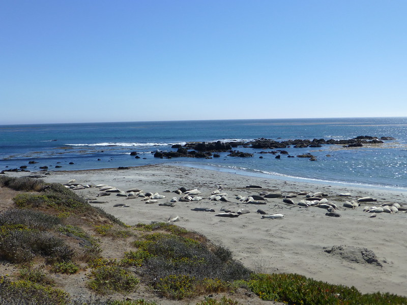 Elephant seals at Piedras Blancas Rookery