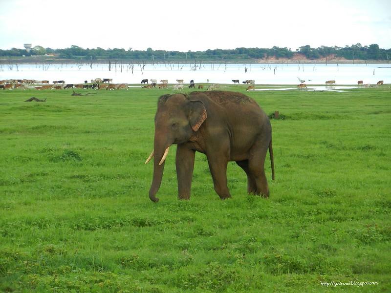 Самец азиатского шри-ланкийского слона
