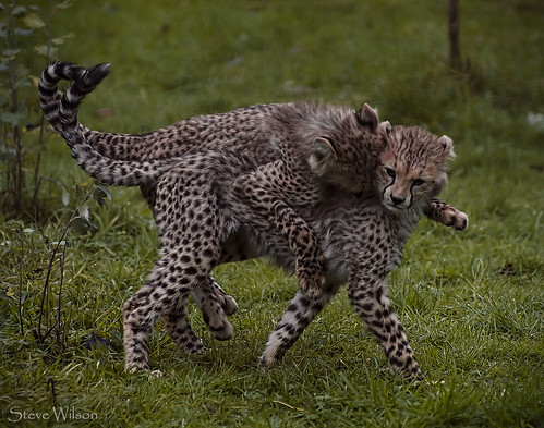 Cheetah Twins Playing