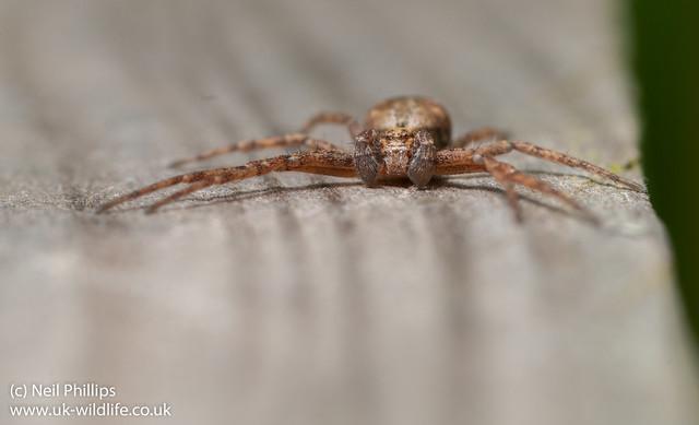 crab spider-4