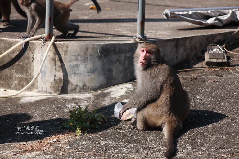 台南私藏景點-南化烏山獼猴 (24)