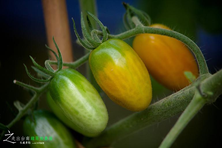 無毒小蕃茄 (1)