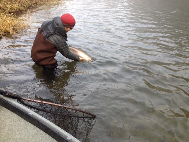 Coastal steelhead report the caddis fly oregon fly for Siletz river fishing report