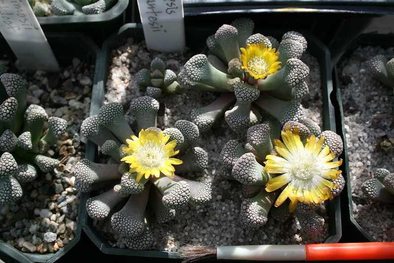 Titanopsis schwantesii in bloom