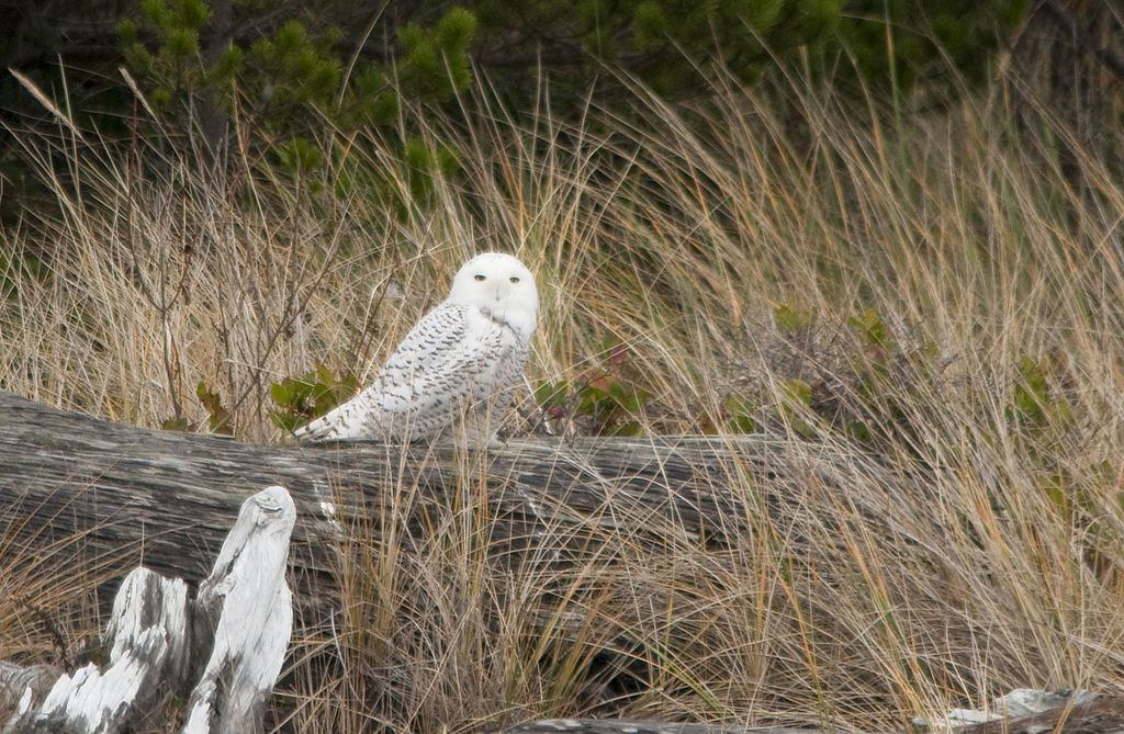Snowy Owl at Siletz Bay NWR