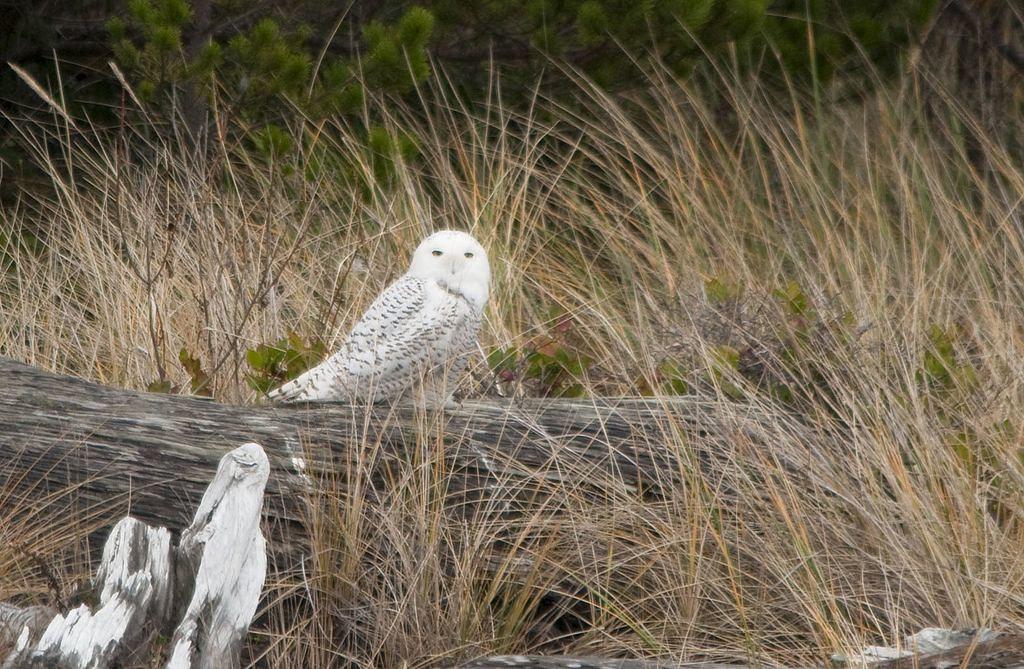 Snowy Owl at Siletz Bay NWR