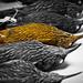 Montane woodcreeper, Lepidocolaptes lacrymiger specimens
