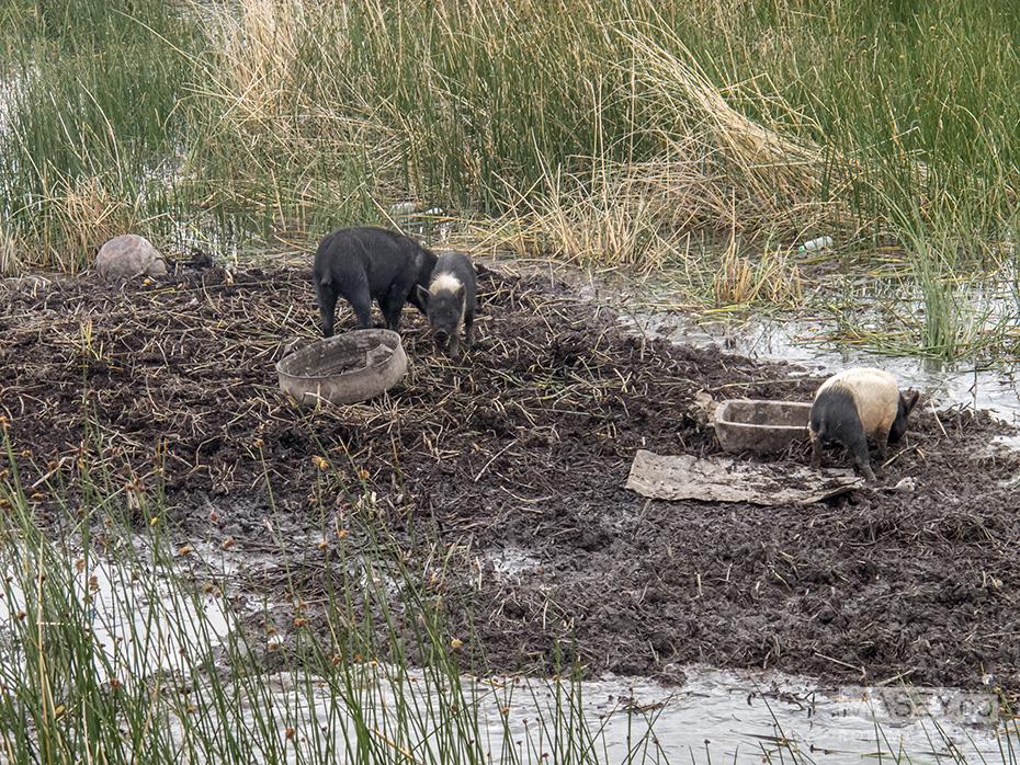 Piggy island.