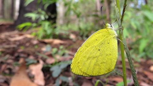 Large Grass-yellow butterfly