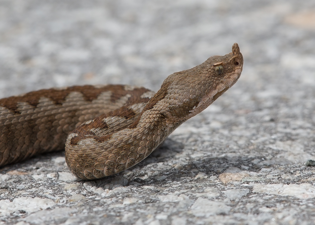 Northern Horned Viper 2014-05-18