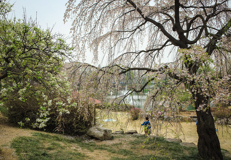 Weeping Cherry Trees, Seoul National Cemetery