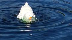 Fastidious goose